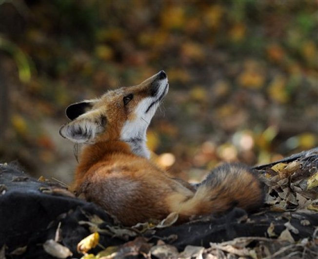 PD: Fox That Attacked People in Ipswich Tests Positive for Rabies
