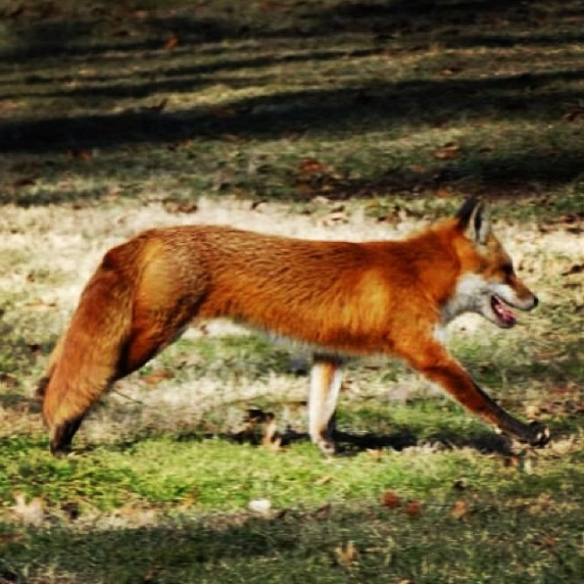 Rabid Fox Killed After Attacking People, Pets