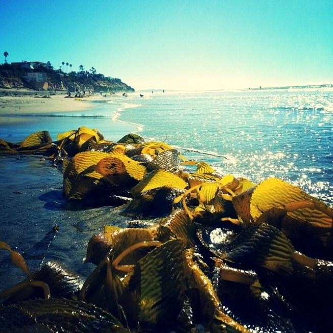 In Maine, Sustainability Showdown Scraps Seaweed Shindig