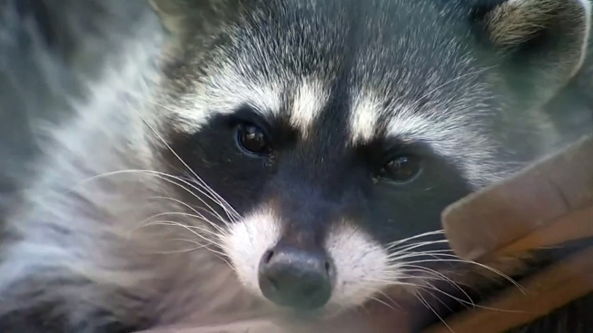 Attacked while running, woman drowns rabid raccoon in puddle