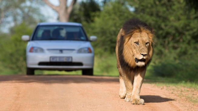 5 Lions Escape From South African Wildlife Park