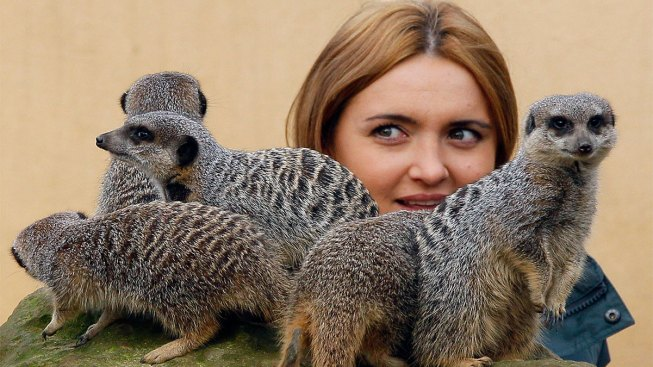 Meerkat Expert Attacked Monkey Handler With Wine Glass Over Llama Keeper