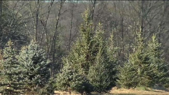 A Grinch Steals Thousands of Dollars of Christmas Trees