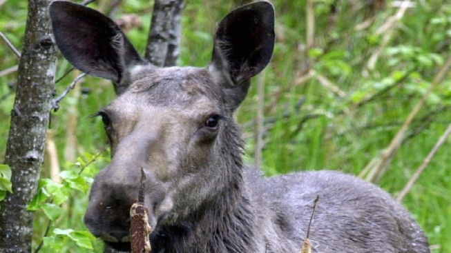 Woman Critical After Crashing Into Moose in Maine