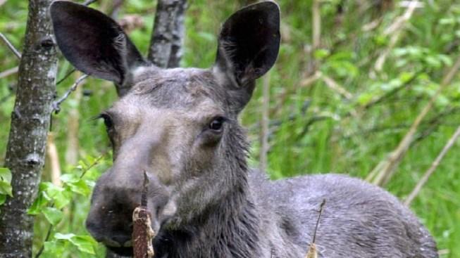 Vermont Moose Hunt Ending