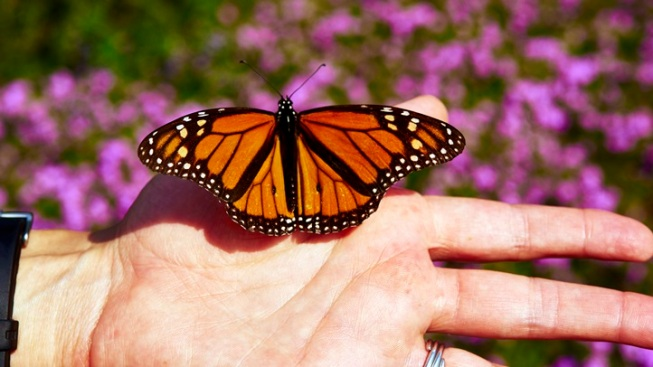 Mass. Highway, Wildlife Officials Team Up to Help Monarch Butterflies