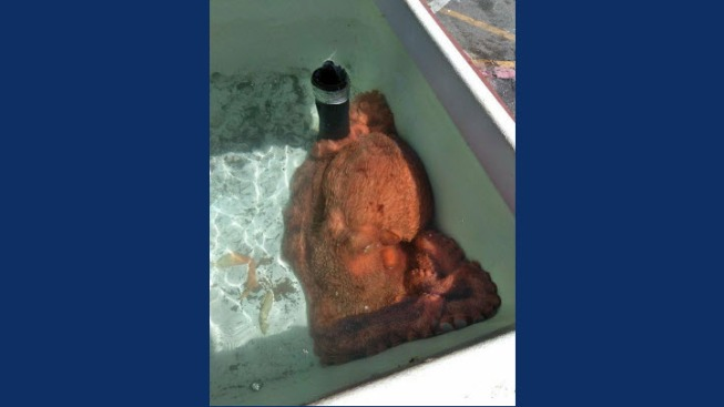 California Fish Market Buys 70-Pound Octopus From Fisherman and Sets it Free