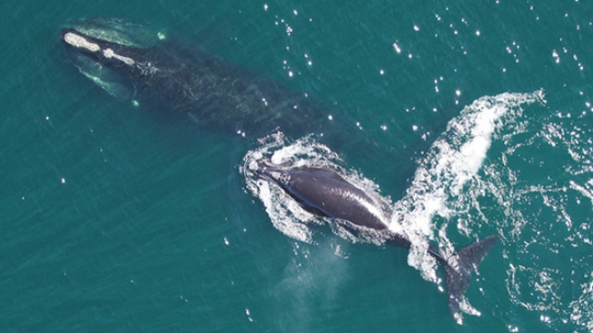 Reduced Speed Zone to Protect Whale in Effect in Nantucket Until December