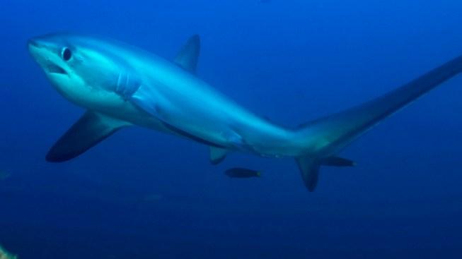 Thresher Shark Washes Ashore on Cape Cod Beach