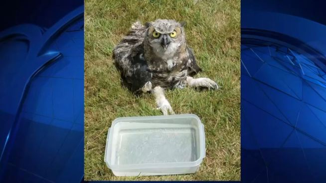 Westwood Residents Find Owl Tangled in Hockey Net