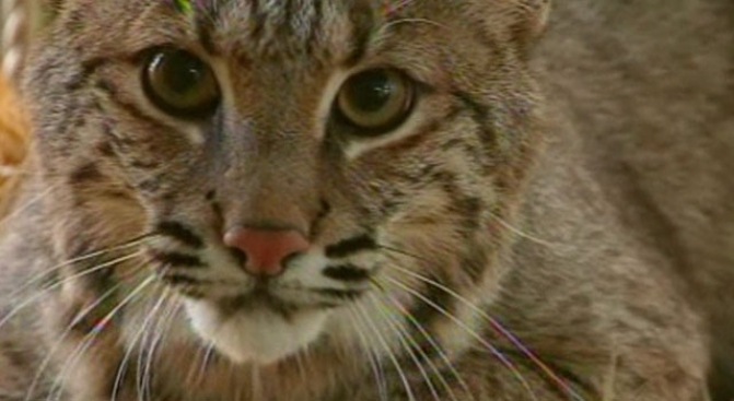 80-Year-Old Woman Fights off Rabid Bobcat With Sickle
