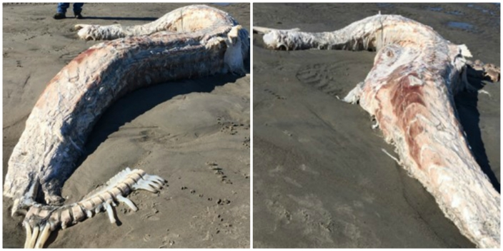 Mystery Sea Creature Washes Up on Maine Beach