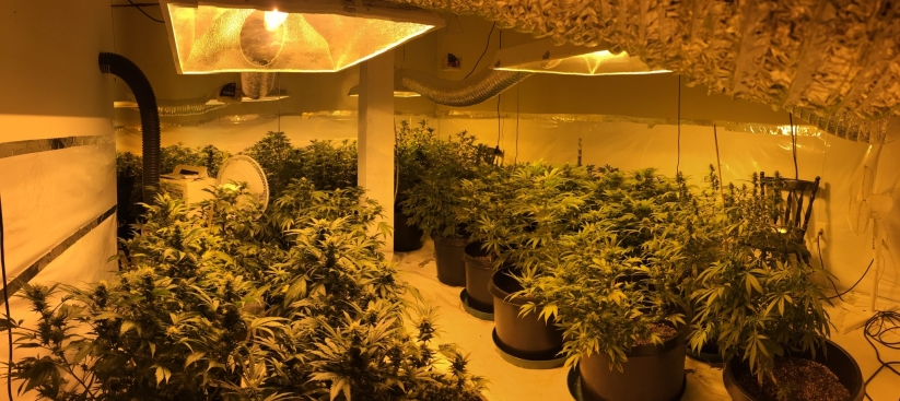 Police Break Up Fight, Discover $100K Pot Growing Operation
